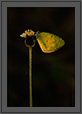 Common Grass Yellow Butterfly | macro Fine Art Nature Photography