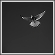 Kestrel Hovering | bw Fine Art Nature Photography
