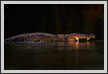 Last Light - Crocodile | color Fine Art Nature Photography