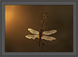 Dragonfly and Golden Sunrise | macro Fine Art Nature Photography