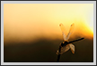 Dragonfly at Sunrise  | color Fine Art Nature Photography