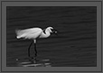 Egret with Fish | bw Fine Art Nature Photography