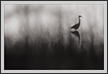 Egret in Reeds | bw Fine Art Nature Photography