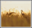 Egrets and Reeds | color Fine Art Nature Photography