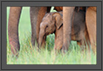 Look - Elephant cub - well supported - Corbett National Park, India | color Fine Art Nature Photography