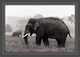 Portrait of a Tusker | bw Fine Art Nature Photography