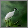 Ibis in Rain | color Fine Art Nature Photography