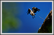 Indian Vulture Take Off  | color Fine Art Nature Photography