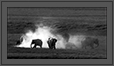 Mud Bath in monotone - Elephants in grassland - Corbett National Park | creative_visions Fine Art Nature Photography