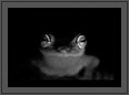 Philautus Neelanethrus | Beautiful Frog in Black and White  | creative_visions Fine Art Nature Photography