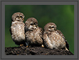 Expressions of Owlets | color Fine Art Nature Photography