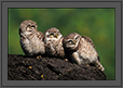 Spotted Owlets Expression Series 2 of 15 | Athene Brama | color Fine Art Nature Photography