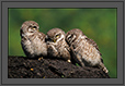 Spotted Owlets Expression Series 3 of 15 | Athene Brama | avian Fine Art Nature Photography