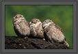 Spotted Owlets Expression Series 4 of 15 | Athene Brama | avian Fine Art Nature Photography
