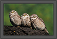 Spotted Owlets Expression Series  5 of 15 | Athene Brama | avian Fine Art Nature Photography