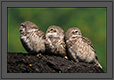 Spotted Owlets Expression Series 6 of 15 | Athene Brama | avian Fine Art Nature Photography