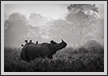 One Horned Rhino, Kaziranga National Park | fauna Fine Art Nature Photography