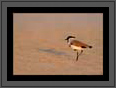 River Lapwing | avian Fine Art Nature Photography