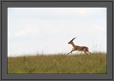 Blackbuck Running | fauna Fine Art Nature Photography