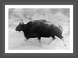 Gaur - Running | fauna Fine Art Nature Photography