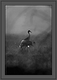 Sarus Cranes  | creative_visions Fine Art Nature Photography