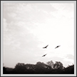 Spoonbills in Flight | bw Fine Art Nature Photography