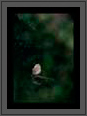 Spotted Owlet in Forest | avian Fine Art Nature Photography
