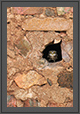 Spotted Owlet in a Hole | daroji Fine Art Nature Photography