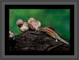 Spotted Owlets and a Squirrel | avian Fine Art Nature Photography