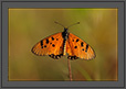 Tawny Coster Butterfly Portrait | macro Fine Art Nature Photography