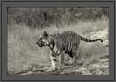 Black and white portrait of the tiger | bw Fine Art Nature Photography