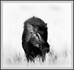 Wild Boar - Look | fauna Fine Art Nature Photography