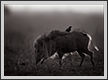 Wild Boar and Myna | fauna Fine Art Nature Photography